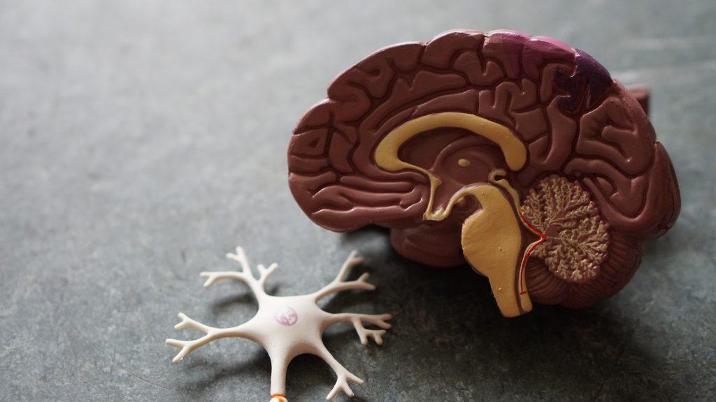 Modello anatomico della mente umana